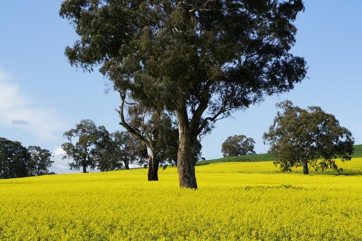 Canola Fields Victoria - Australia