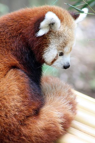 ˚Red Panda