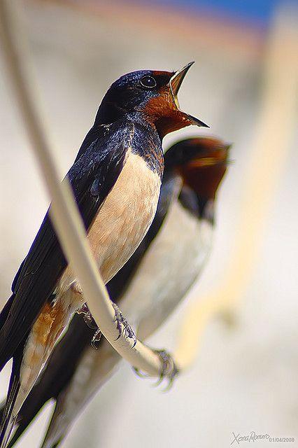 Barn Swallow--Hirun rustica