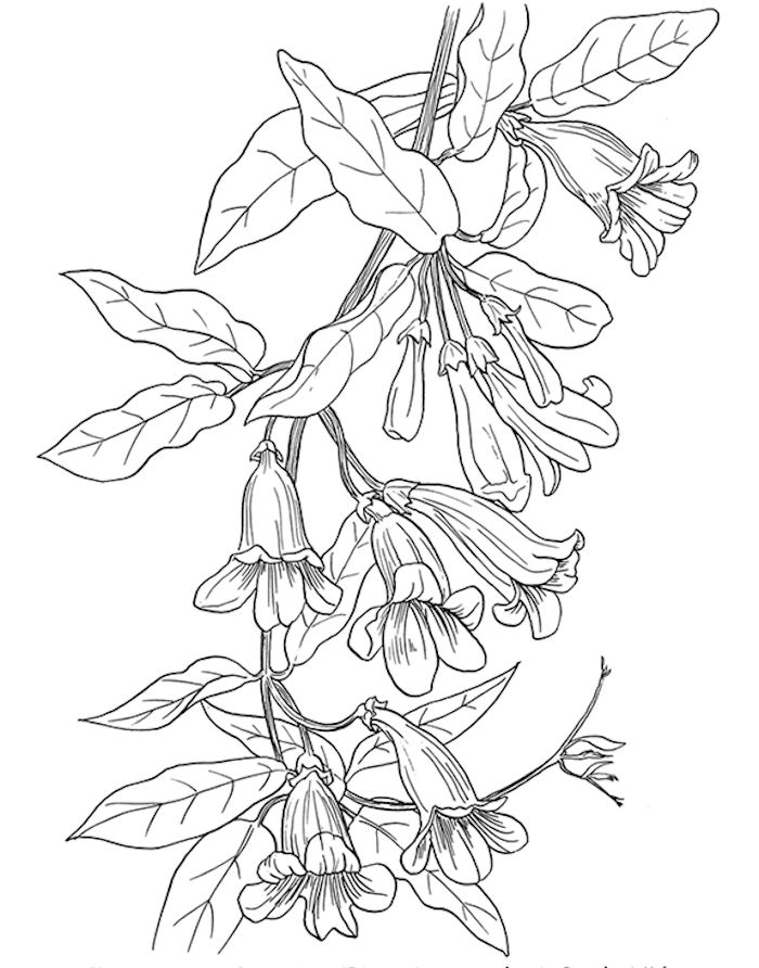 Dover American Wild Flowers Trumpet Vine Coloring Page