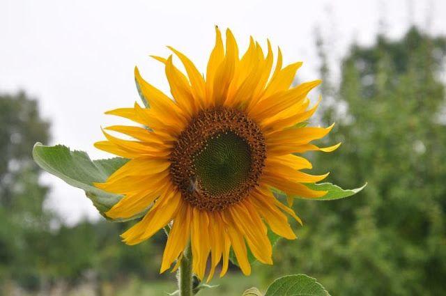 Ogrodnicza Obsesja: Słonecznikowa galeria (10)