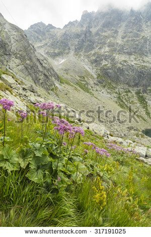 Adenostyles alliariae plant with pink flowers in the mountain scenery