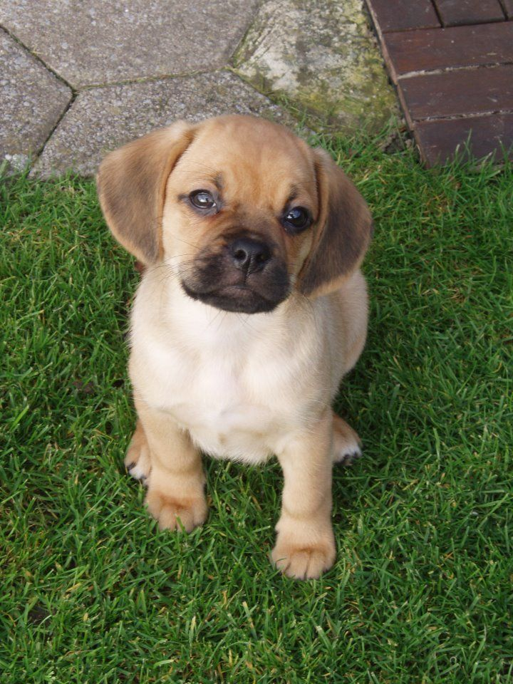 so this puppy is officially my dream dog! its a puggle!
