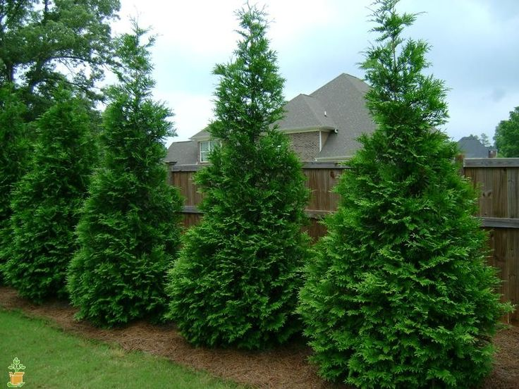 Thuja green giant - Green Giant Arborvitae, fastest growing privacy tree, LOVE the textured look!