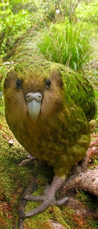 Kakapo, large, flightless, nocturnal, ground dwelling parrot of New Zealand. Critically endangered, estimated 130 left. Has a highly developed sense of smell.