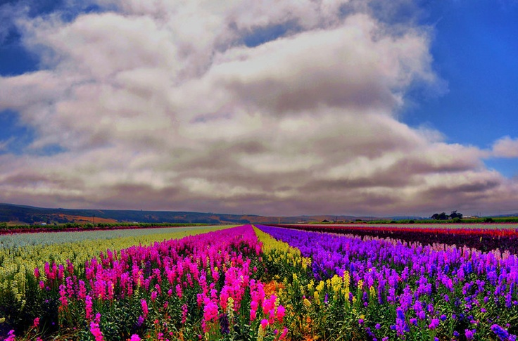 If you have a chance to go through Lompoc, CA you should see the flower fields.  A spectacular vista.