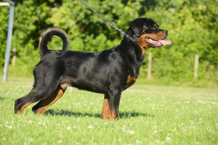 Rottweiler - Akita - Dog Accessories online store,   Find the Best Dog Breeds, Dog breeds medium, dog breeds for kids, dog breeds for kids, puppies cute, puppies training, puppies stuff, popular dog breeds, popular dog breeds, popular dog names puppies, dog breath remedy,  Visit our site for Best Dog Breeds and best Popular Dog Accessories.