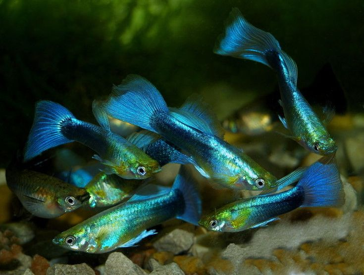 Metallic blue neon guppy male poecilia reticulata Livebearer aquarium fish