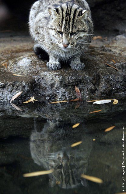 *Fishing Cat  (Actual name of this wild cat from Southeast Asia. Related to the leopard family.)