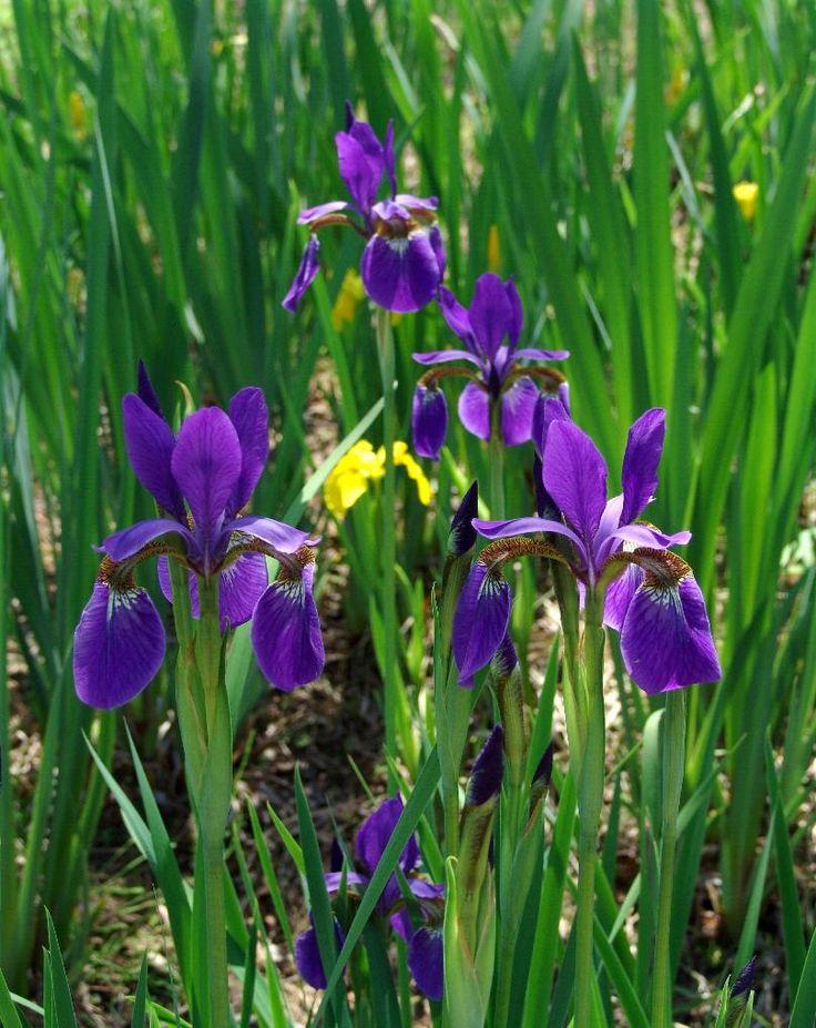 붓꽃,  Iris  nertschinskia  LODD.