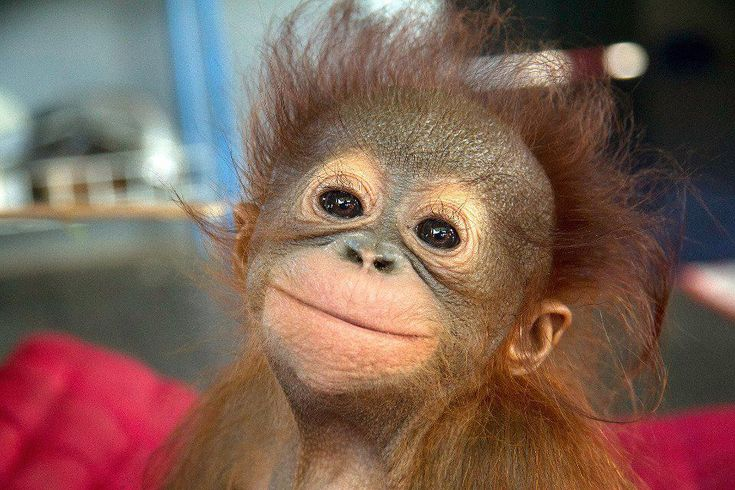 """happy monkey - He really is a happy little orangutan. The little fellow was given the name """"Gunung """" which means """"Mountain"""" in Bahasa Indonesian. He now lives at Ketapang rehabilitation center in Borneo where he will learn the skills of being an OU and be set free in a protected forest in about 8 years. :)"""