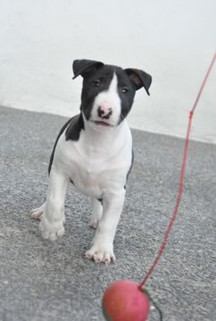 Miniature Bull Terrier puppy for sale in ROMA, TX. ADN-29259 on PuppyFinder.com Gender: Male. Age: 8 Weeks Old