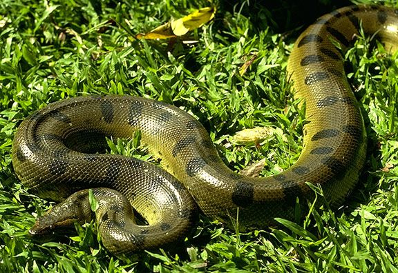 The three yellow anacondas (Eunectes Notaeus) and two green anacondas (Eunectes murinus) were acquired as part of an exchange programme…