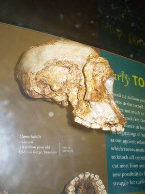 Bwana joen kynästä: Aivojen koko ei todista evoluutiosta