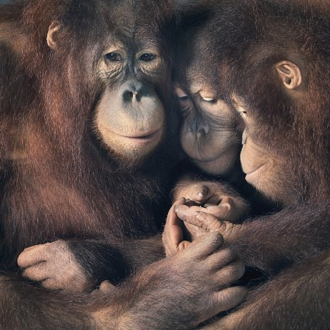 Family Portrait of a female orangutan and her two children.  Photo: Tim Flach