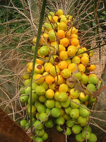 Arecaceae - Jubaea chilensis (Molina) Baill. by Jardín Botánico Nacional, Viña del Mar, Chile, via Flickr