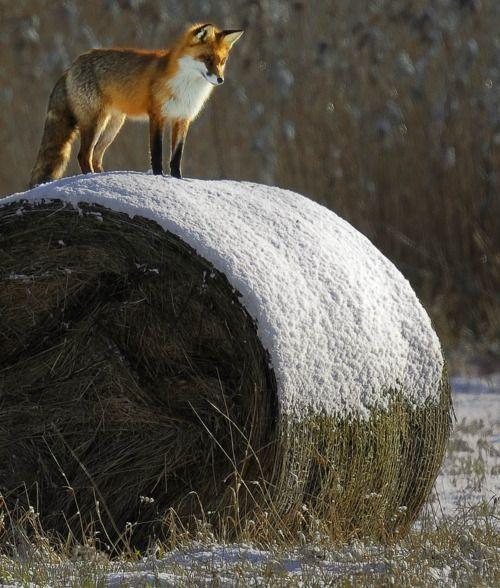 Fox on snowy hay roll