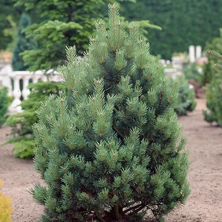The Nation's toughest privacy tree - The Austrian Pine or 'European Black Pine' is the top choice for privacy trees in urban areas because it has a high tolerance for pollution and smog. Its foliage will grow together to create a solid living wall that filters out pollutants and cleans the air. When planted as...