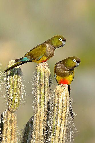 Loro Tricahue Chile ( cyanoliseus patagonus)