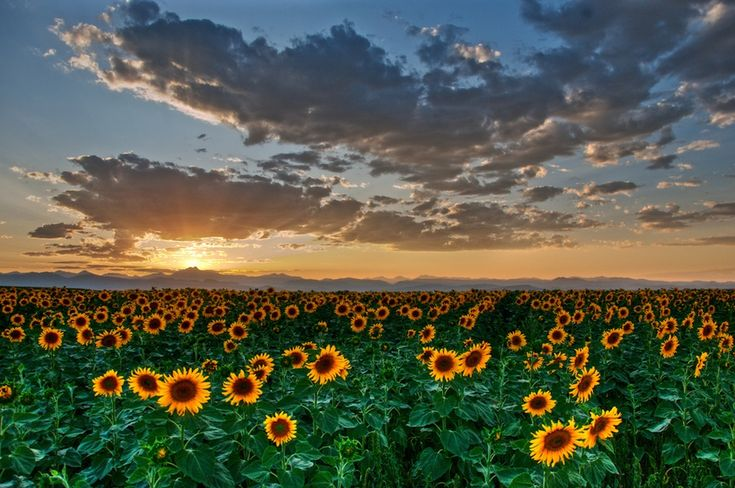 sunflowers with clouds