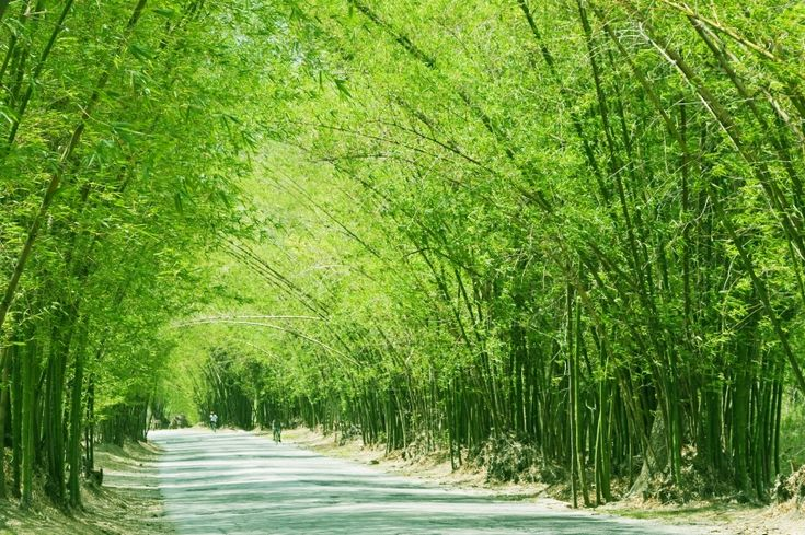 Bamboo Avenue is a 2.5 mile stretch of road, lined on both sides with giant bamboo plants which create a canopy