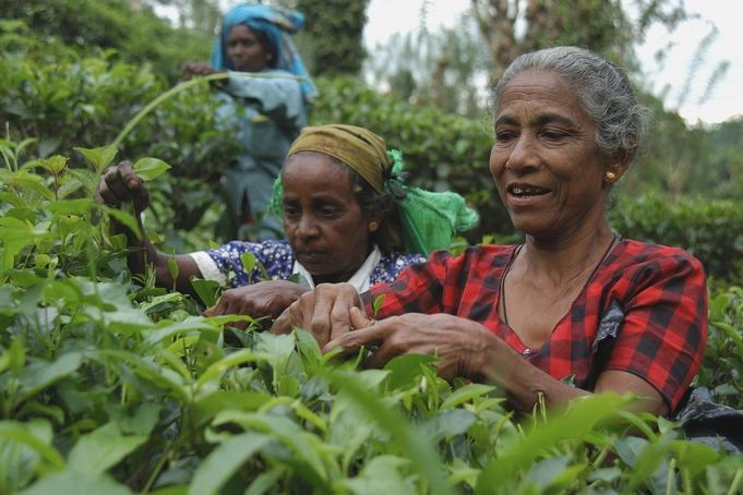 Sri Lankan Tea Estates?