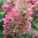 Hydrangea paniculata 'Pinky Winky' ®