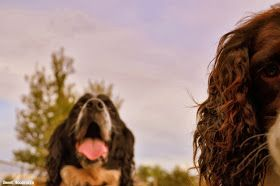 Fostering dogs during the empty nest stage of marriage. English springer rescue america