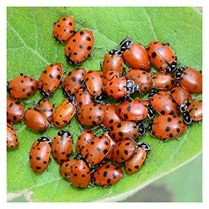 GIVE LIVE LADYBUGS AS A GIFT! Ladybugs make any occasion more memorable. Releasing ladybugs is a great way to add some unique fun to weddings, birthday parties, graduations and many other joyous occasions! Ladybugs are one of the most widely used beneficial insects for controlling pests on everything you grow! Excellent aphid predators, ladybugs will also feed on chinch bugs, asparagus beetle larvae, thrips, alfalfa weevils, bean thrips, grape root worms, Colorado potato beetle larv...