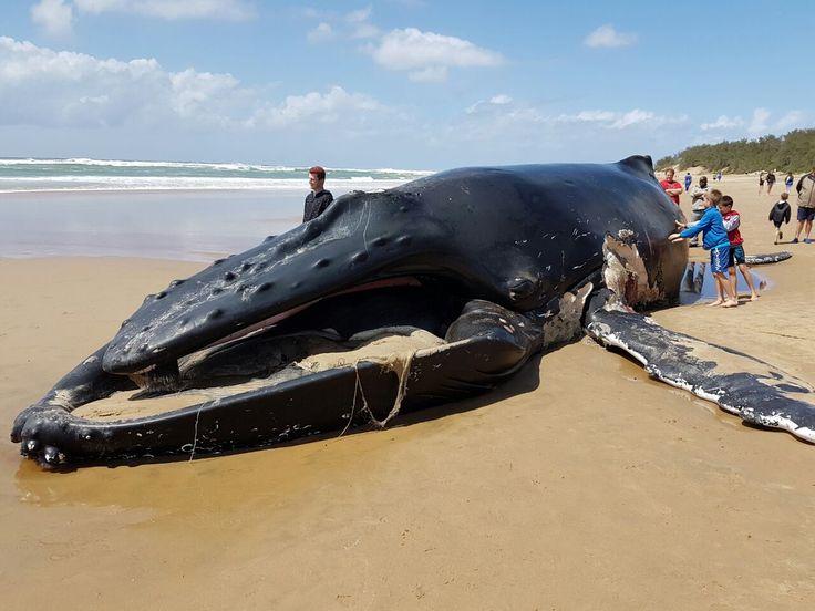 Humpback whale, Cape Vidal