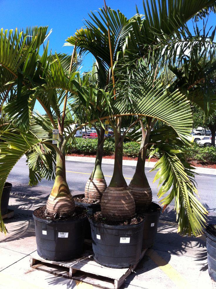 Palm Trees For Pergola Lowe S Pergola Pinterest