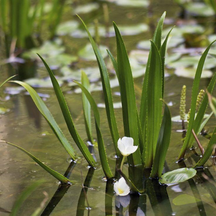 Телорез обыкновенный, или Телорез алоэвидный (Stratiotes aloides)