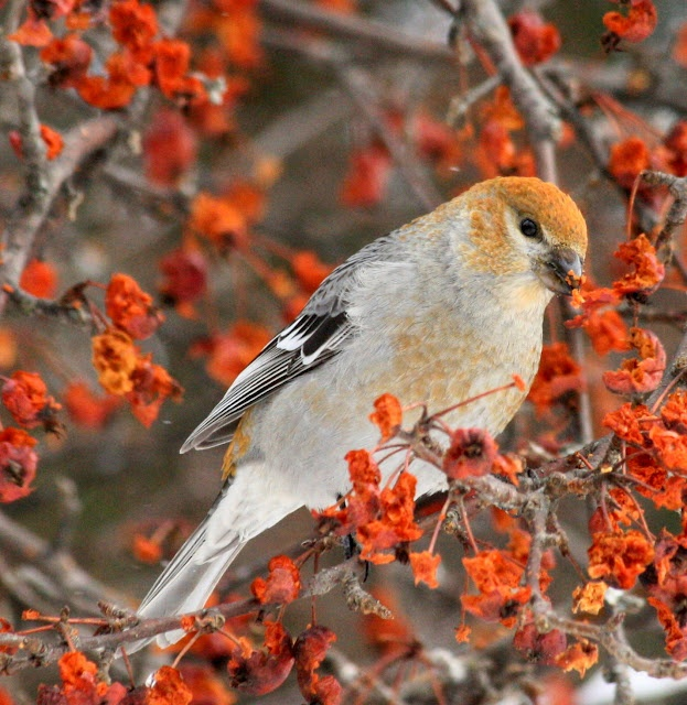 50 Best Michigan Birds Images On Pinterest