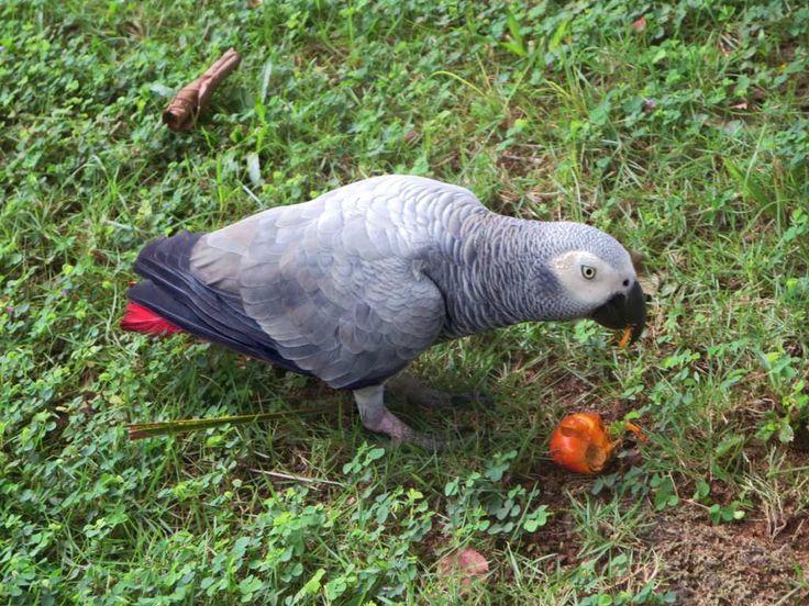 A pet African grey parrot named Chaplin resides at Bom Bom Island Resort on Principe Island, São Tomé and Príncipe.