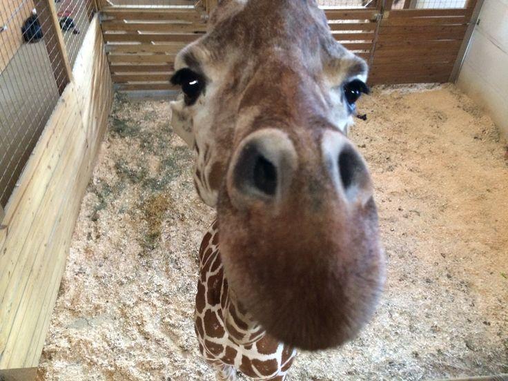 UPDATE ON APRIL THE GIRAFFE! Animal Adventure Park Giraffe Cam