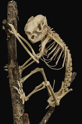 koala skeleton. Never seen one before!