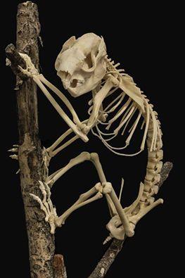 koala skeleton. Never seen one before!