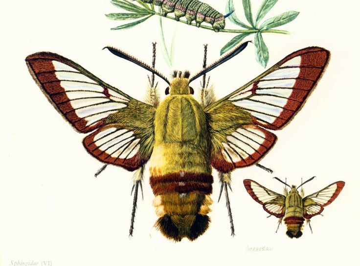 1960 Moro-sphinx. Sphinx colibri. Sphinx du caille-lait. Sphinx bourdon.Chenille Insectes. Lepidoptères Papillons. Planche Entomologie. de la boutique sofrenchvintage sur Etsy