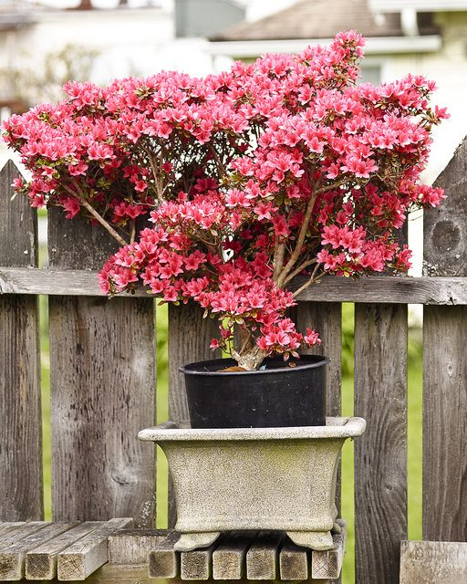Bonsai Azalea | Flickr: Intercambio de fotos