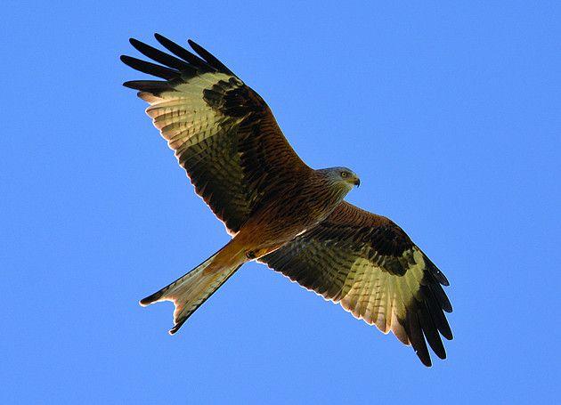 Fotograaf: bonteklepper  Van alle de (dag)roofvogels is de Rode Wouw de meest kleurrijke . In Nederland en België zeldzaam , meestal allee...