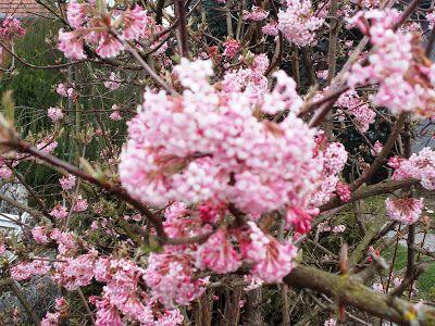 Ajánljuk: Cserjék a kertemben, http://kertinfo.hu/cserjek-a-kertemben/, ezekben a témakörökben:  #Díszkert #Díszkertinövény #Fák #Gyümölcs #Képek #Kert #Kertészkedés #Kéziszerszámok #Konyhakert #Mag #Májusi #Metszés #Munkaruha #Növény #Rózsa #Téli #Virág, írta: Blog Nellikert