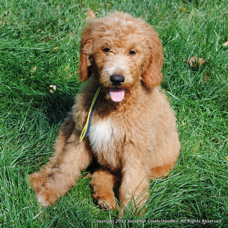 Goldendoodle Puppies For Sale. We are located in