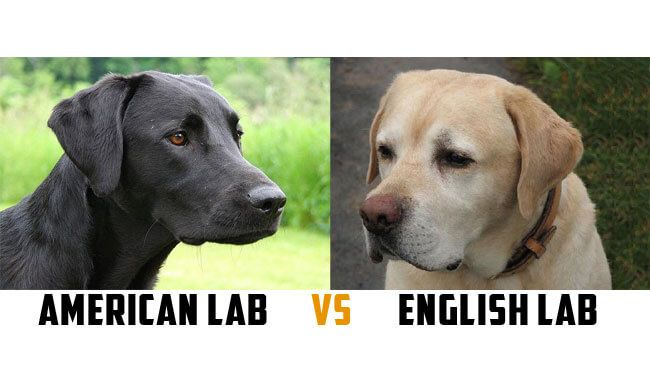 SHARING IS CARING!00000These different labrador types were bred for different purposes. One of the major differences between these 2 types of labs is their build. While American labs are thinner, English labs are stockier. Check the other differences between these lab types in the excerpt below: The American Labradors, also known as 'Field' or 'Hunting' …