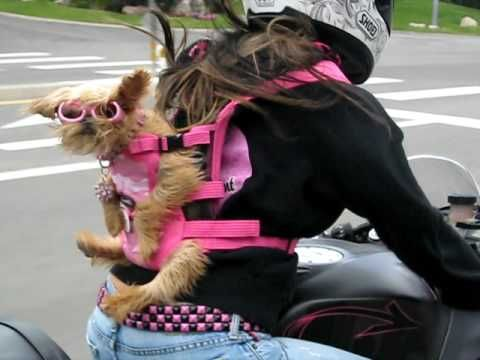 What if HE doesn't like pink? Can he even see pink? C'Mon, Man! - Brussels Griffon puppy dog Riding a custom motorcycle w. girl