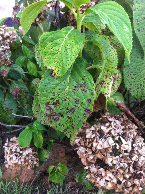 25 unique hydrangea plant ideas on pinterest hydrangea care hydrangea and hydrangeas - Care potted hydrangea ...