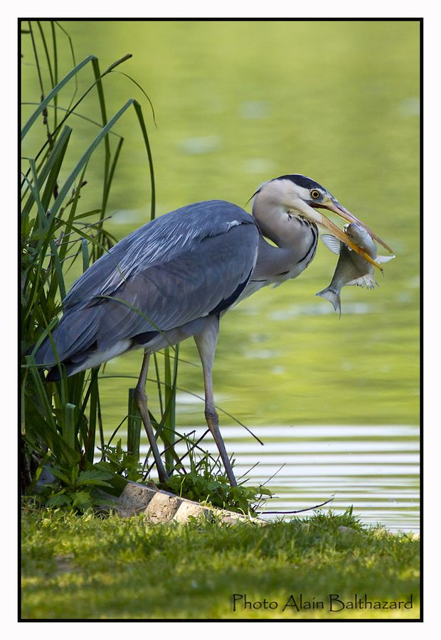 Grey heron with fish by Alain Balthazard on 500px  Grey Heron (Ardea cinerea), is a wading bird of the heron family Ardeidae, native throughout temperate Europe and Asia and also parts of Africa.