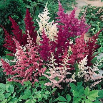 Astilbes - Perfect for moist, partly shaded borders - Combines beautifully with Bergenia, Columbine, Coral Bells and Hosta