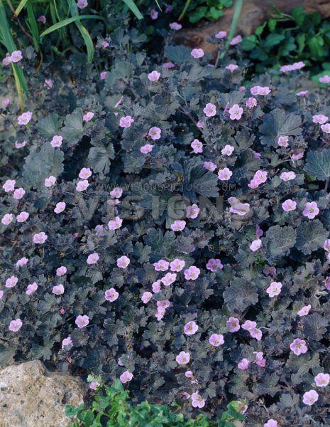 Näva Geranium Pink Spice sol/halvskugga