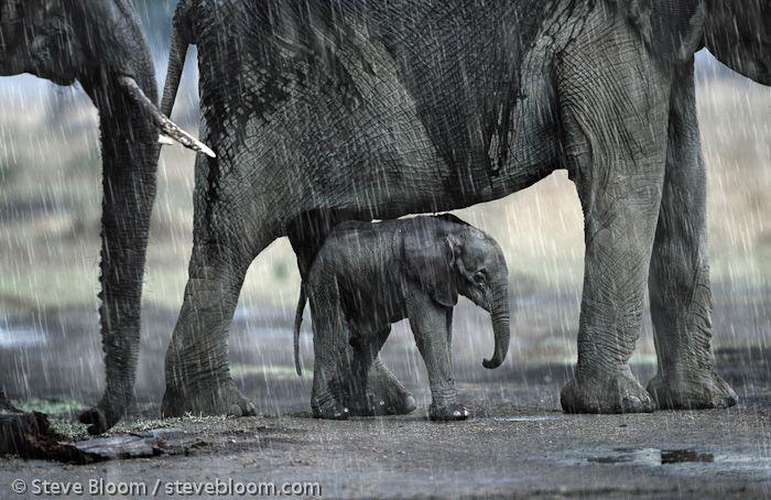 African elephants and calf in the rain, Masai Mara, Kenya. Image by Steve Bloom
