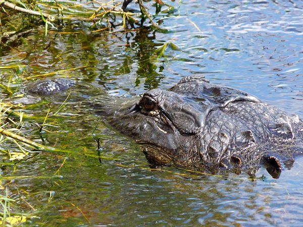 Florida Gator Wall Art 75 best florida wildlife images on pinterest | canvas prints